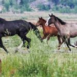 Us Government Halts Wyoming Wild Horse Roundup Amid Dispute