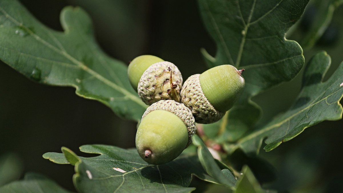 Visit hud.gov/coronavirus to find the latest information and resources for service providers, homeowne. Virginia Dept Of Forestry Asks Residents To Donate Acorns Nuts