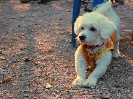 playful bichon frise puppy