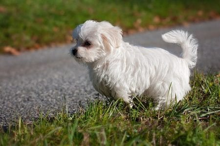 cute white maltese puppy playing in the grass