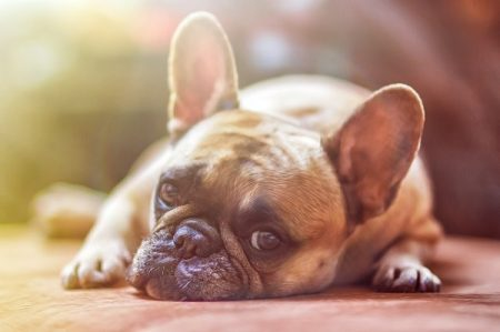 tired french bulldog laying on floor