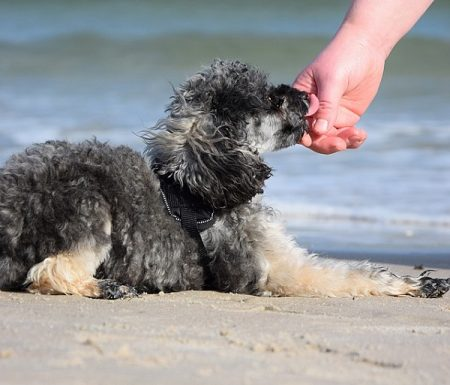 poodle playing at the beach