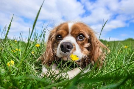 Cavalier King Charles Spaniel puppy in the grass and flowers