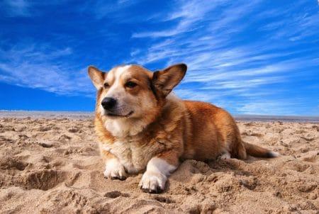 welsh corgi dog laying on the beach