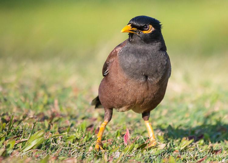 The Common Myna Bird