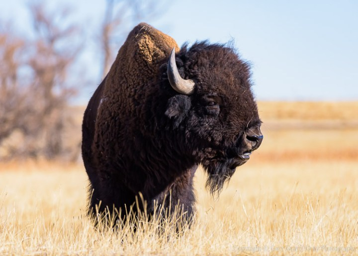 Photograph of a Bison in Prairie Grass