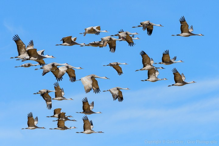 Flight of Sandhill Cranes in Monte Vista, Colorado