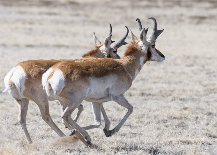 Pronghorn bulls on the move.