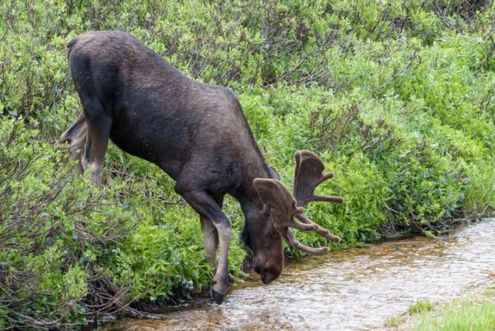 Bull Moose in Northern Colorado