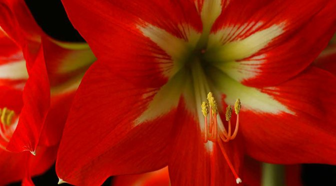 Amaryllis Planting and Care