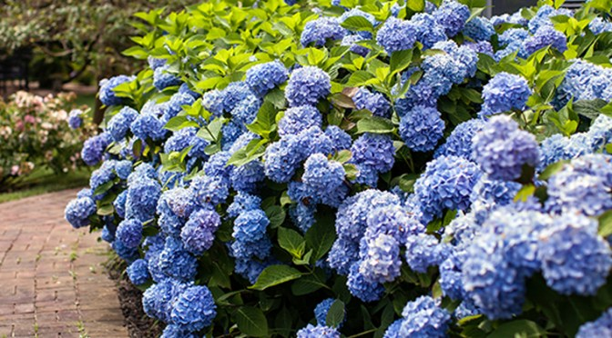 Hydrangea Care Questions and Answers