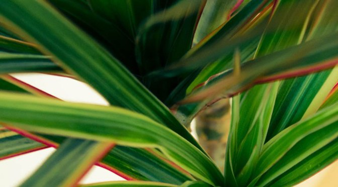 Houseplant of the Month: Dracena Marginata