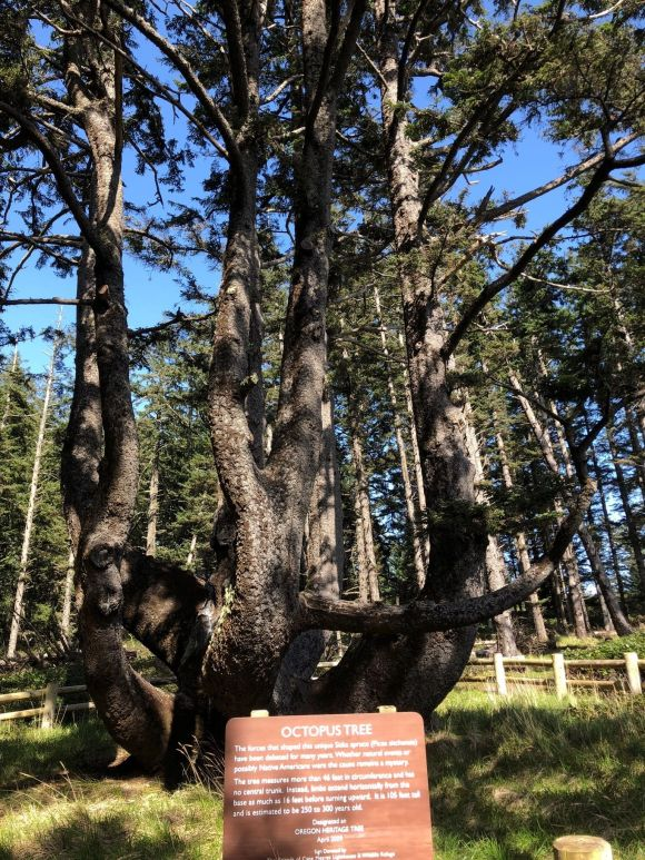 Octopus Tree, Oregon