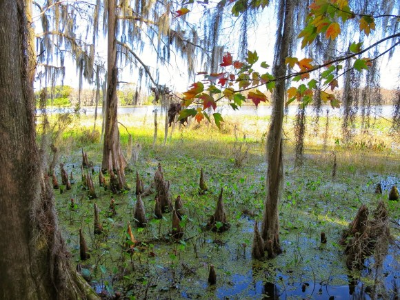 This image has an empty alt attribute; its file name is cypress_knees_-_panoramio.jpg