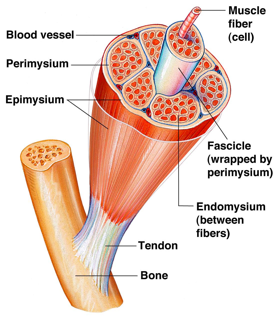 Integumentary Skeletal Amp Muscular Systems