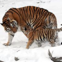 Beautiful, Siberian, Tigers.
