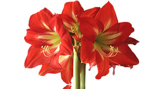 A red amaryllis bulb in full bloom