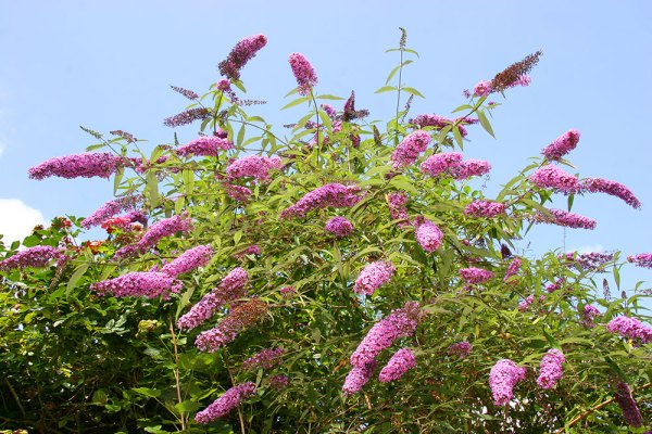 Butterfly bush is excellent late summer color