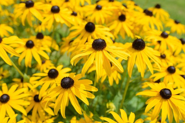 Rudbeckia (black-eyed susan) gives excellent late summer color