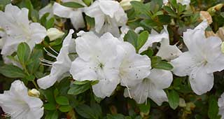 Autumn Angel Encore Azalea