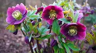 Helleborus perennials have arrived.