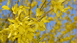 Forsythias have arrived.