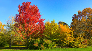 Large red maple in fall color