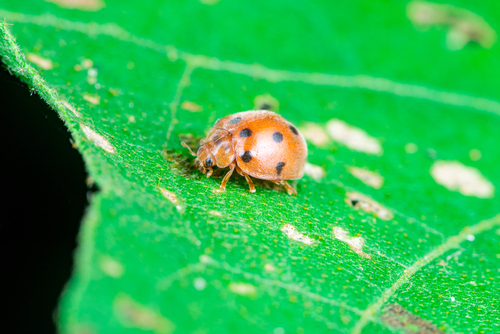 Vegetable pests: Mexican bean beetle