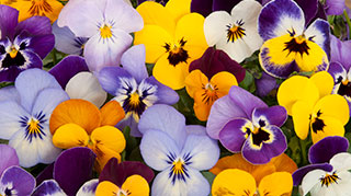 Winter pansies have arrived.