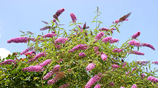 All Butterfly Bushes
