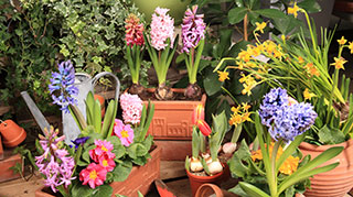 Potted spring bulbs are here.