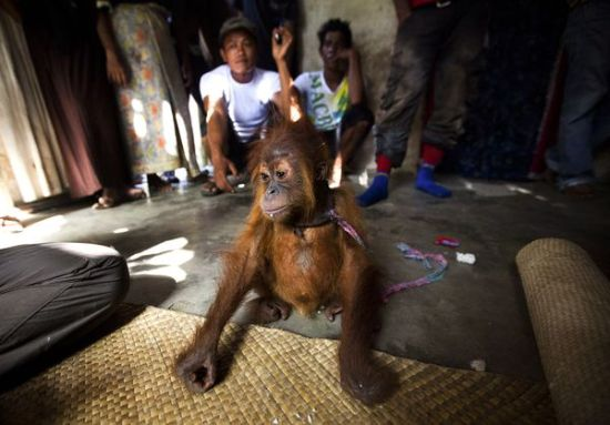 Copyright: Paul Hillton - The malnourished juvenile orangutan was captured after his mother was beaten to death.