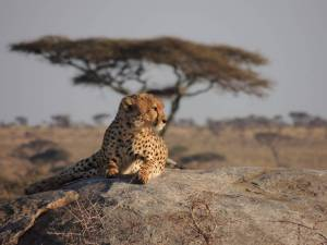 namiri-plains-cheetah