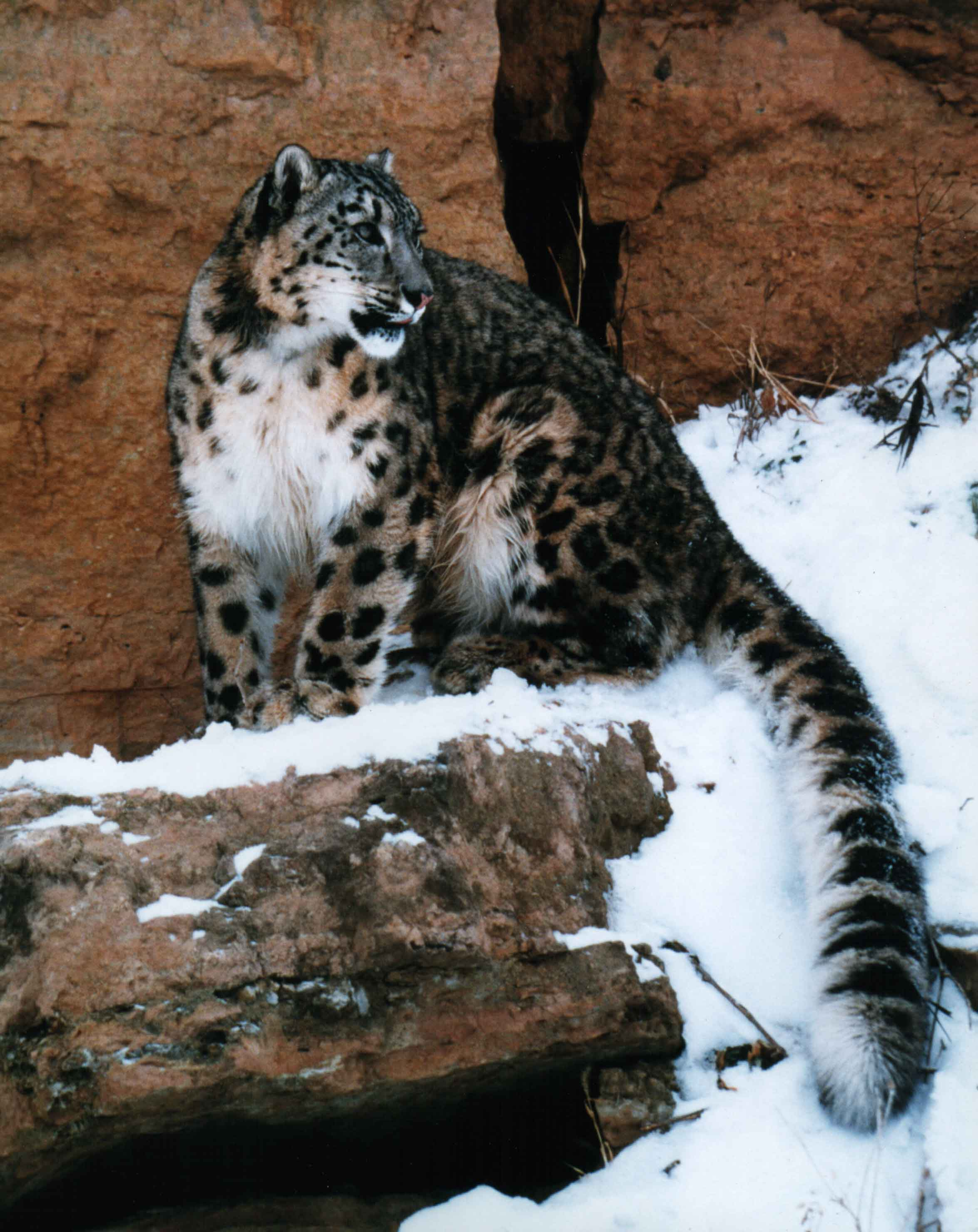 snow leopards great cats