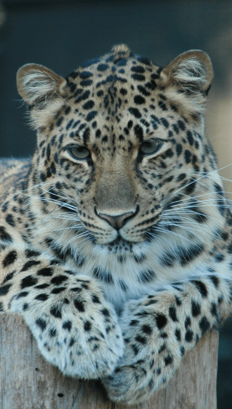 leopards great cats world