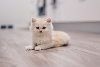 remove cat urine from laminate floor