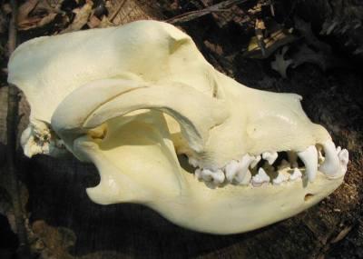 Bullmastiff skull