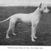Early Bull Terrier