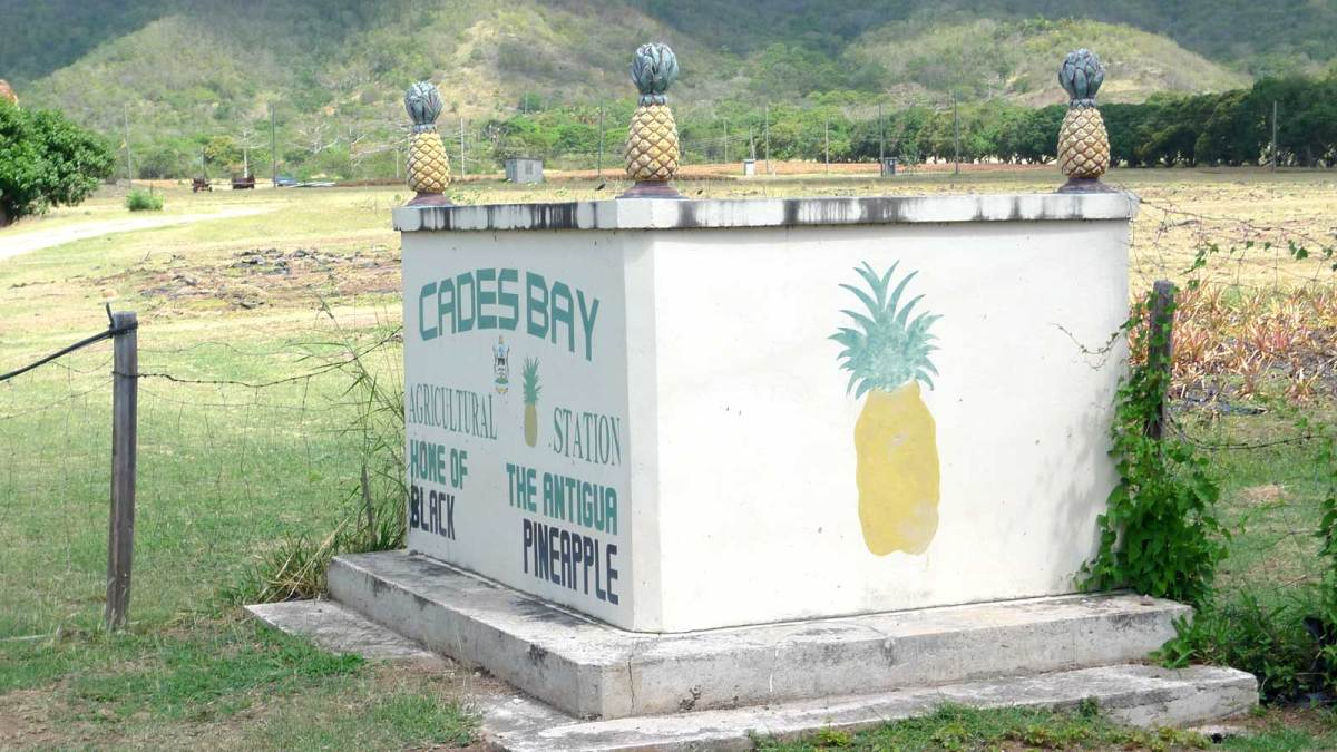 Antigua-black-pineapple