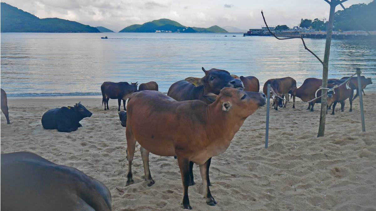 Hong-Kong-cattle