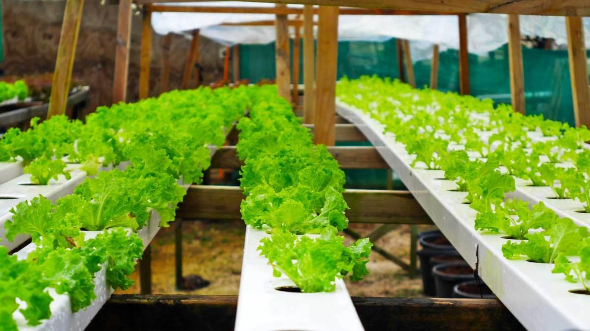 Niue-hydroponic-farm