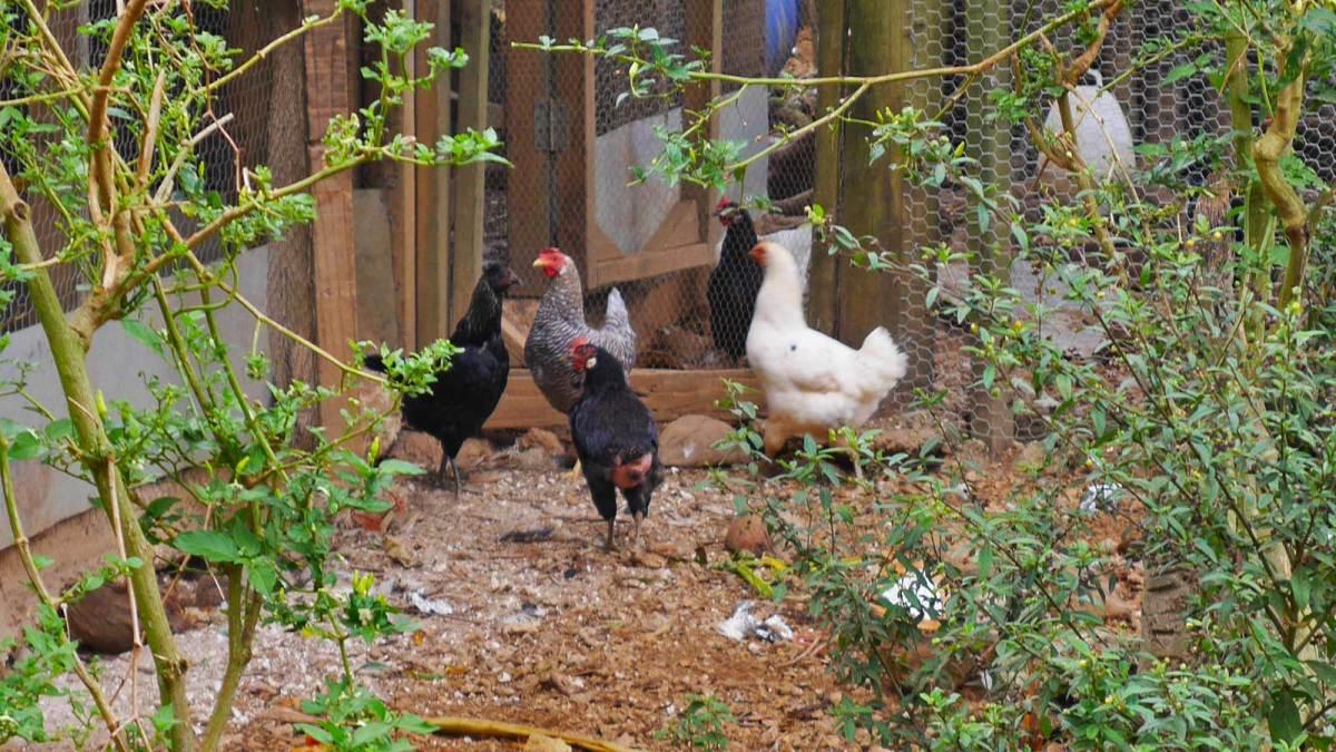 Chamberlin's free-range chickens
