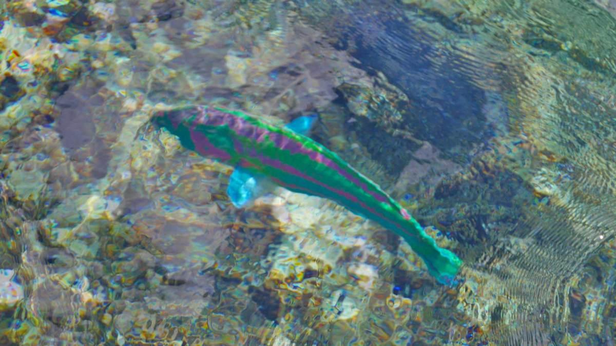 niue-fish