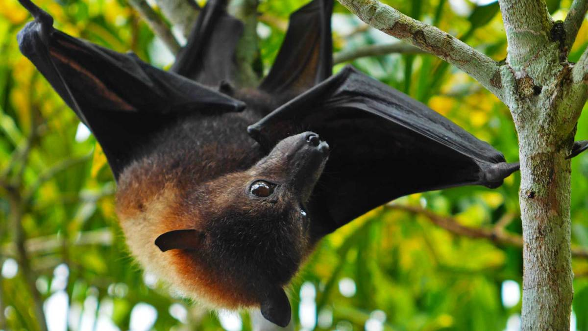 niue-misa-flying-fox-2