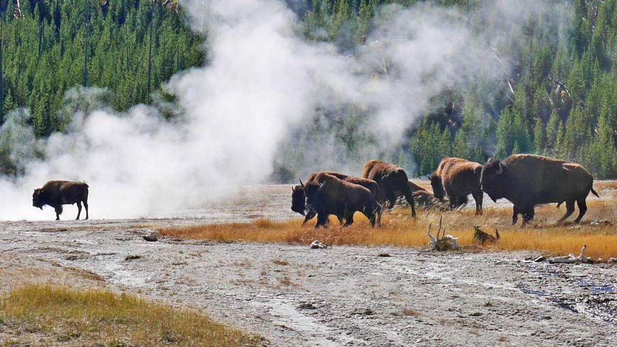 bison-1