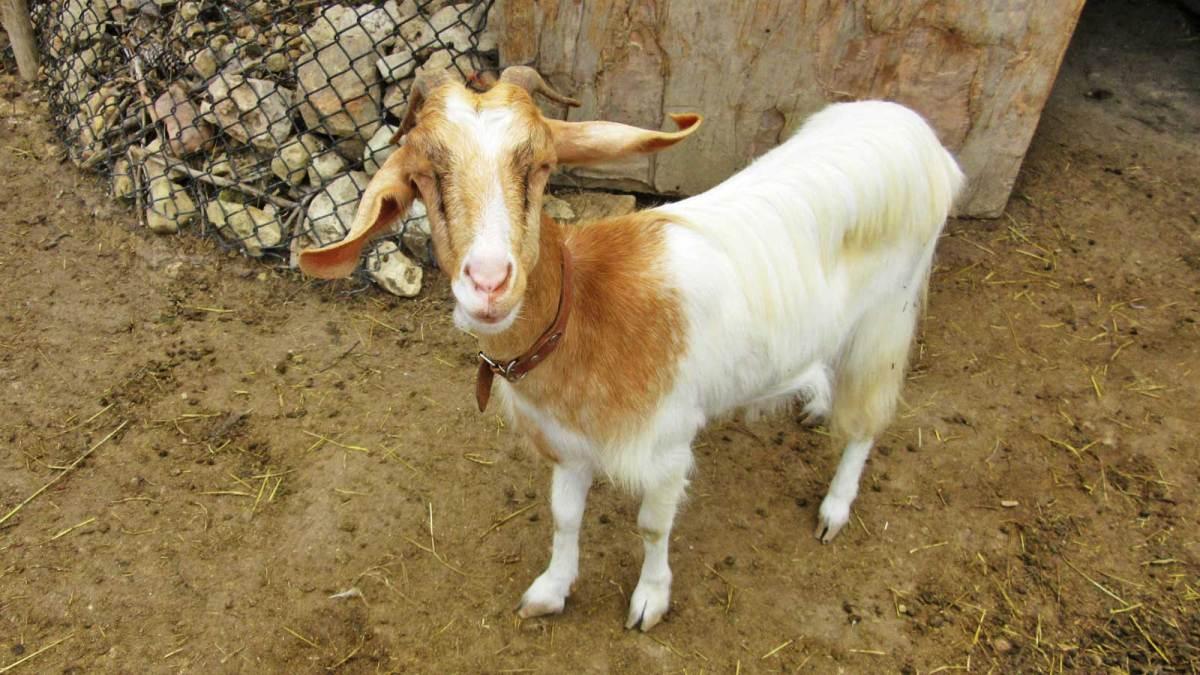 gozo_ta-mena-estate-goat