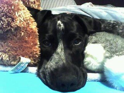 image of GSP dog