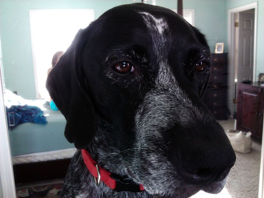 image of german shorthaired pointer