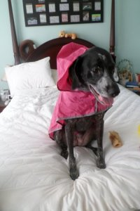 Mommy brought me a new rain coat from Wyoming.  This one keeps my head dry too.