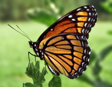 Butterfly- wings vertically up Photo credit Wikimedia Commons user: PiccoloNamek